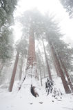 Sequoia`s covered in Snow Stock Image