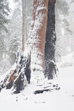 Sequoia`s covered in Snow Royalty Free Stock Photo