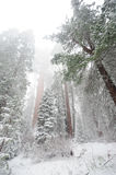 Sequoia`s covered in Snow Royalty Free Stock Image