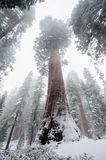 Sequoia`s covered in Snow Stock Photography