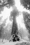 Sequoia`s covered in Snow Stock Images