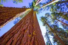 Sequoia's in de mening van Californië van onderaan Stock Afbeeldingen