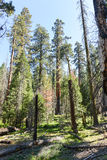 Sequoia's in Mariposa-Bosje, het Nationale Park van Yosemite Stock Foto