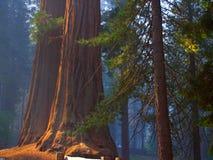 Sequoia's op blauw stock fotografie