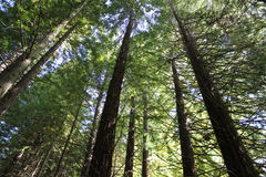 Sequoia'sbos Stock Foto's