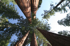 Sequoia sempervirens Stock Image