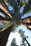 Sequoia sempervirens royalty-vrije stock fotografie