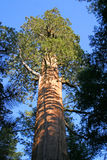 Sequoia, Sequoia National park Royalty Free Stock Photos
