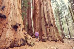 Sequoia stock photos