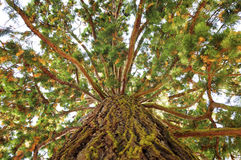 Sequoia. Sequoioideae [bot.], sequoia tree seen from below Royalty Free Stock Images