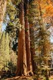 Sequoia sull'orlo della foresta nel parco nazionale della sequoia fotografia stock libera da diritti