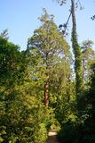 Sequoia, Szarvas, Hungary. Giant sequoia in Szarvas, Hungary Stock Photography