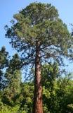 Sequoia, Szarvas, Hungary. Giant sequoia in Szarvas, Hungary Royalty Free Stock Images