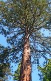 Sequoia, Szarvas, Hungary. Giant sequoia in Szarvas, Hungary stock image