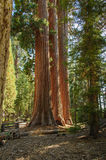 Sequoia - Three Sisters MLS. Three Giant Sequoia trees - each several hundred years old - in late afternoon light in Sequoia National Park. They will grow up to Stock Photography
