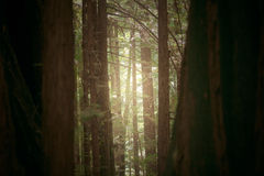 Sequoia Trail. A journey through the forests of California's redwoods. Hidden spots, simple views, uncommon scenarios: all made unique by the filtered light of Royalty Free Stock Photos
