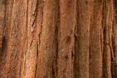 Sequoia tree Stock Photos