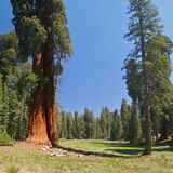 Sequoia Tree. On a meadow Stock Images