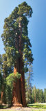 Sequoia Tree. Full size Sequoia Tree on a meadow Royalty Free Stock Photography