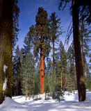 Sequoia Tree Stock Image