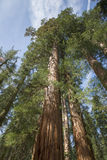 Sequoia Tree California. Sequoia Tree Rising to the Sky, Sequoia National Park, California Stock Image