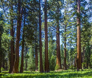 Sequoia tree in the forest Royalty Free Stock Image