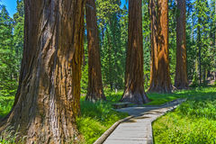 Sequoia tree in the forest. Sequoia national Park with old huge Sequoia trees like redwoods in beautiful landscape royalty free stock photography
