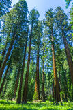 Sequoia tree in the forest Royalty Free Stock Photos