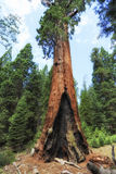 Sequoia tree at Giant Forest museum trailhead, USA Stock Images