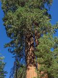 Sequoia tree. A giant sequoia tree in the Sequoia National Park in California stock photography