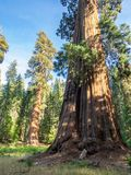 Sequoia tree. A giant sequoia tree in the Sequoia National Park in California stock photo
