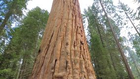 Giant Sequoia Tree in Sequoia National Park. Sequoia tree. Giant Sequoia Tree in Sequoia National Park, California. Tilt up giant Sequoia trees in Yosemite stock video footage
