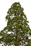 Sequoia tree isolated Stock Photos