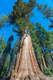 Sequoia Tree in Sequoia National Park, California Stock Photography