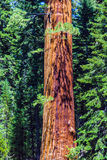 Sequoia tree in the Sequois National Park in California Stock Image