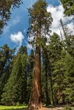 Sequoia tree standinding tall in Sequoia national park stock photography