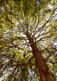 Sequoia  tree in a sunlight. Look in the sky. Royalty Free Stock Photo