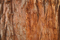 Sequoia tree texture. Old Romanian Sequoia tree texture Royalty Free Stock Photos