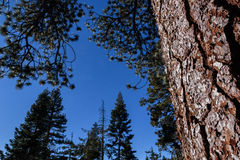 Sequoia tree trunk with other trees also Royalty Free Stock Image