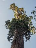 Sequoia tree. Very tall sequoia tree in the Sequoia National Park in California royalty free stock photo