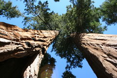 Sequoia trees. Tops reaching the sky Royalty Free Stock Photo
