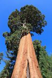 Sequoia trees Royalty Free Stock Photo