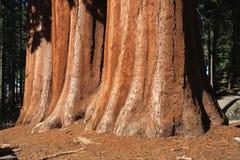 Sequoia trees Royalty Free Stock Photos