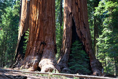 Sequoia trees Stock Photography