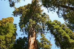 Sequoia Trees. Looking up at the giant sequoias in California Stock Photography