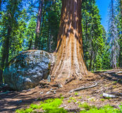 Sequoia trees in the forest Royalty Free Stock Photos