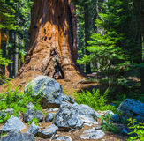 Sequoia trees in the forest Royalty Free Stock Photography