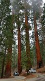 Sequoia trees. In Sequoia National Park, California Stock Images