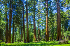 Sequoia trees in the Sequois National Park in California. The famous big sequoia trees are standing in Sequoia National Park, Giant village area , big famous royalty free stock image