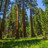 Sequoia trees in the Sequois National Park in California. The famous big sequoia trees are standing in Sequoia National Park, Giant village area , big famous stock photos